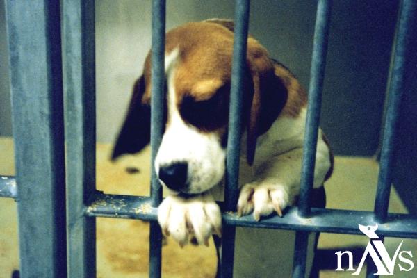 NAVSweb_beagle