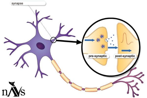NAVSweb_prop_neuron03_IMG