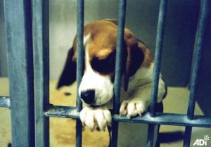 beagle_Toxicol_1993