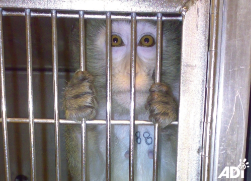 Goldie_macaque_cage03