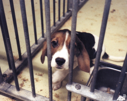 NAVS beagle UK_drug toxicity testing