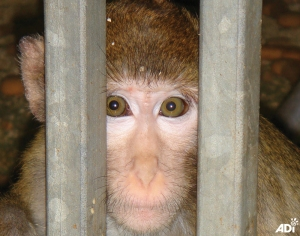 NAVS Huntingdon macaque (1)